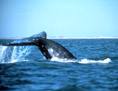 Whale Watching, Newport Beach Whale Watching Charters